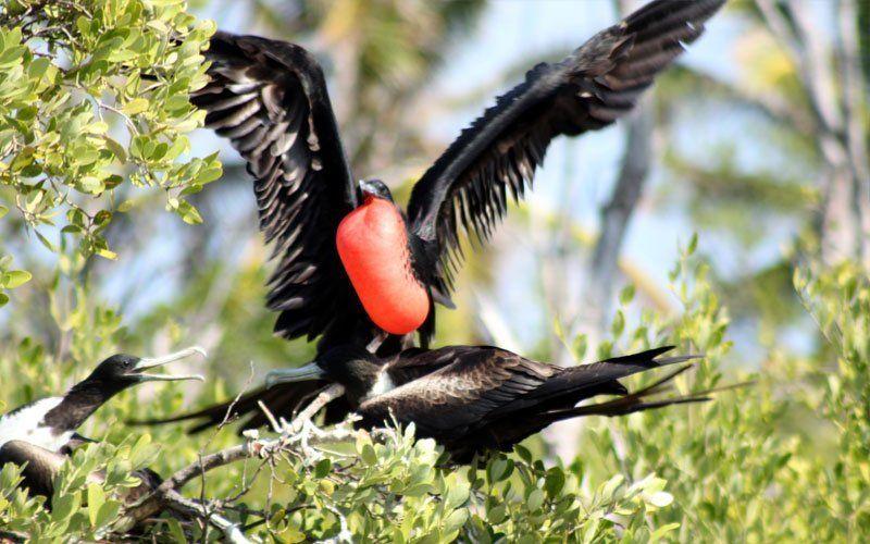 avistamiento de aves, fragata