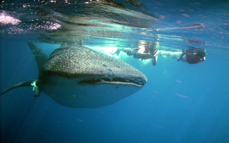 tiburon-ballena-3