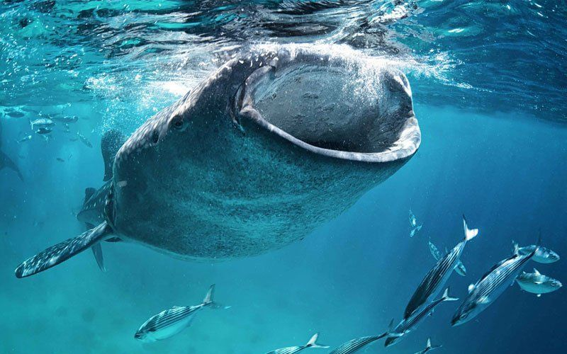 tiburon-ballena-4