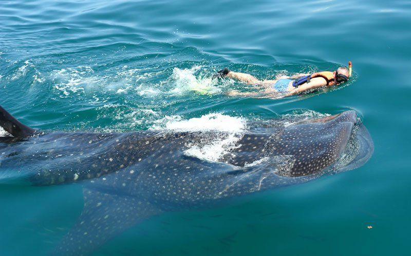 tiburon-ballena-5