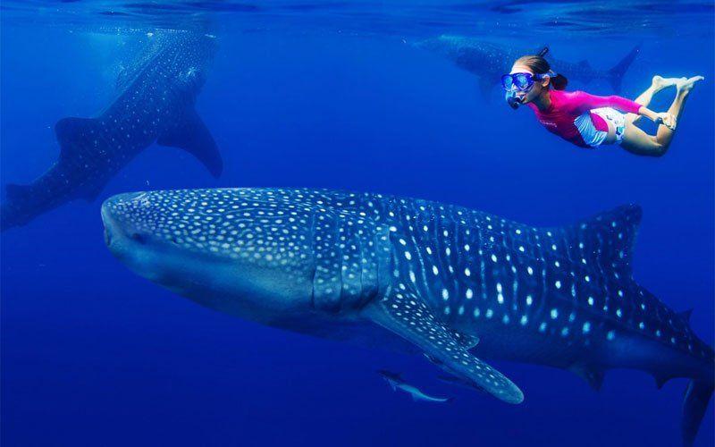 tiburon-ballena-6